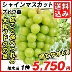 ブドウ 苗木 シャインマスカットP 接木苗 1株 送料込み / ぶどう 葡萄 苗 ぶどうの木 ブドウの苗木 果樹苗