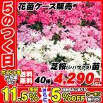 花苗大特価 芝桜(シバザクラ) ケース販売 1ケース40株入り 送料無料