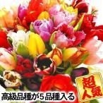 チューリップ 球根 チューリップ5種ミックス 30球 送料無料 / きゅうこん 花の球根 チュウリップ ちゅうりっぷ 国華園