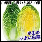 種 野菜たね ハクサイ F1秋いちばん白菜 1袋(5ml) / 白菜 野菜の種 国華園