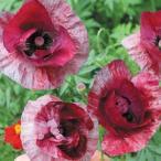 種 花たね 虞美人草 ラズベリーリップル 1袋(60mg) / 花種 花の種 はなたね 切花 グビジンソウ ヒナゲシ シャーレーポピー シャーレイポピー コクリコ 鉢 花壇