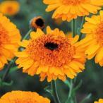 種 花たね キンセンカ クラウンオレンジ 1袋(20粒) / 花種 花の種 はなたね 金盞花 ポットマリーゴールド カレンジュラ カレンデュラ 切花向き 仏花向き