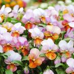 種 花たね ビオラ ビッツ ハートカクテル 1袋(30粒) / 花種 花の種 はなたね パンジー サンシキスミレ サンショクスミレ 三色スミレ 三色菫