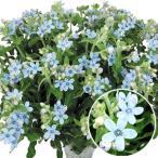 種 花たね オキシペタラム ブルースター 1袋(15粒)