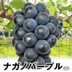 ブドウ 苗木 ナガノパープルPVP 3株 / ぶどう 葡萄 苗 ぶどうの木 ブドウの苗木 果樹苗 国華園