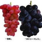 果樹苗 タネなしブドウセット 2種2株 / 苗木 葡萄の苗 ぶどうの苗 皮ごと 美味しい タネなし 種なし 国華園