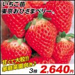 いちご苗 東京おひさまベリーP 3株 / イチゴの苗 いちごの苗 苺の苗 いちご 苗 親株