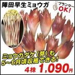 山菜苗 陣田早生ミョウガ 4株 / 山菜の苗 茗荷の苗 ミョウガの苗
