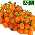 接木野菜苗 ミニトマト 接木F1ゴールデングレープ 4株 / みにとまと 苗 ミニトマト苗 接木