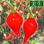 実生野菜苗 トウガラシ ビキーニョ 2株 / トウガラシの苗 とうがらしの苗 唐辛子の苗 ペッパー 国華園