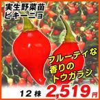 実生野菜苗 トウガラシ ビキーニョ 12株 / トウガラシの苗 とうがらしの苗 唐辛子の苗 ペッパー 国華園