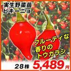 実生野菜苗 トウガラシ ビキーニョ 28株 / トウガラシの苗 とうがらしの苗 唐辛子の苗 ペッパー 国華園