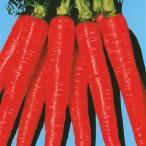 種 野菜たね ニンジン 紅美金時 1袋(10ml) / 野菜のタネ 野菜 種子 にんじん 人参 キャロット 【YTC23】 国華園