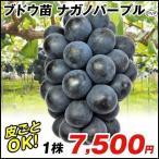 ブドウ 苗木 ナガノパープルP 1株 / ぶどう 葡萄 苗 ぶどうの木 ブドウの苗木 果樹苗