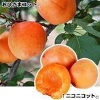 果樹苗 アンズ 苗木 生で旨いアンズセット 2種2株 / あんず 杏 苗 杏の木