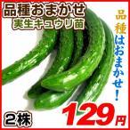 実生野菜苗 品種おまかせ実生キュウリ 2株