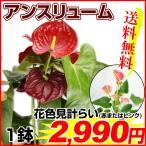 観葉植物 アンスリューム 6号鉢 1鉢送料無料(赤またはピンク花色見計らい)
