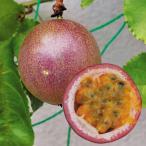 果樹苗 パッションフルーツ サマークイーン 1株