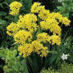 秋植え球根 アリウム モーリー (小輪) 20球 / 花の球根 国華園 アリューム