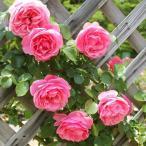 バラ苗 つるバラ レオナルド ダ ヴィンチ 1株 / バラの苗 薔薇 クライミング ローズ CL