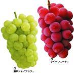 ブドウ 苗木 高級グルメブドウセット 2種2株 / ぶどう 葡萄 苗 ぶどうの木 ブドウの苗木 果樹苗 国華園