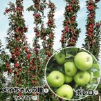 ミニリンゴ 苗木 バレリーナRツリーセット 2種2株  /  りんご 林檎 姫りんご 苗 リンゴの苗木 リンゴの木 果樹苗 国華園