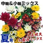 菊苗 夏菊中輪&小輪ミックス(花色見計らい・名称なし) 10株 / 国華園