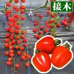 接木野菜苗 ミニトマト 接木F1キャンディポップ 赤 2株 / みにとまと 苗 ミニトマト苗 接木