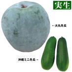 実生野菜苗 トウガン 実生冬瓜セット 2種4株 / とうがん 苗 トウガン苗 自根苗