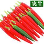 実生野菜苗 トウガラシ F1パッション 12株 / とうがらし 苗 トウガラシ苗 自根苗