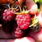 ラズベリー 苗 インディアンサマー 1株 / キイチゴ 木苺 木いちご 苗木 果樹苗 国華園