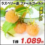 ラズベリー 苗 ファールゴールド 1株 / キイチゴ 木苺 木いちご 苗木 果樹苗 国華園