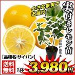 実つき果樹 レモン 苗木 サイパン 1株 レモンの木 レモン苗 苗木