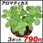 多肉植物 ハーブ アロマティカス 3ポット 花苗
