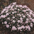 種 花たね 宿根イベリス スイートハート 1袋(30粒)