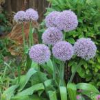 秋植え球根 アリウム パーティバルーン (大輪) 1球