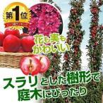 ミニリンゴ 苗木 メイちゃんの瞳R (メイ17PVP) 2株 / バレリーナRツリー 林檎 姫りんご 苗 リンゴの苗木 リンゴの木 果樹苗 国華園
