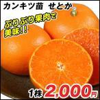 せとか 苗 せとかP 1株 / みかん オレンジ みかんの木 苗木 柑橘 果樹苗 国華園