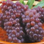 ぶどう 山形産 ご家庭用 デラウェア(1kg) 葡萄 グレープ フルーツ 国華園