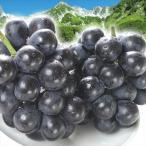 ぶどう 長野産 ご家庭用ナガノパープル  2房 1組 送料無料 葡萄 ブドウ フルーツ くだもの 食品 国華園