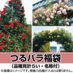 バラ 苗 つるバラ福袋(品種見計らい・名称付) 2株 ばら