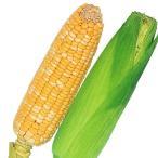 野菜たね トウモロコシ 早生バイカラー 1袋(20ml) / 種 タネ