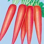 野菜たね ダイコン 赤長二十日大根 1袋(10ml) / 種 タネ