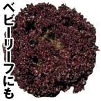 野菜たね レタス ロロロッサ 1袋(2ml)