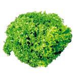 野菜たね レタス ロログリーン 1袋(2ml)