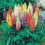 花たね 種 ラッセルルピナス混合 1袋(400mg) / タネ 種 花壇 鉢植え ガーデニング 国華園