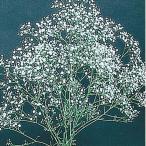 花たね 宿根かすみ草 1袋(250mg) / タネ 種