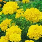 花たね マリーゴールド 高性アフリカンマリーゴールド 黄 1袋(500mg) / 種 タネ