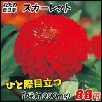 花たね 百日草スカーレット 1袋(1000mg) / タネ 種