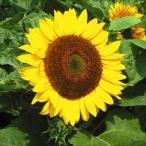 花たね ひまわり 太陽 1袋(25粒)